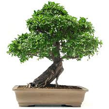 bonsai